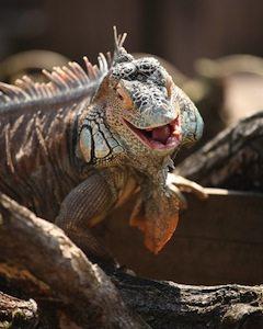 laughing_iguana_sm